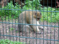 born_087 (OurTravelPics.com) Tags: born barbary macaque kasteelpark zoo