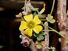 Oxalis gigantea (Eerika Schulz) Tags: oxalis gigantea hannover herrenhausen berggarten eerika schulz