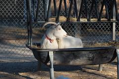 Bed and Breakfast (Cheryl3001) Tags: white goat bed breakfast fujifilm xt2 90mm f2