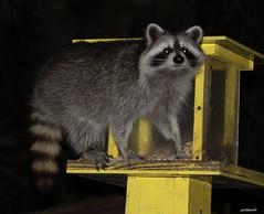 Raccoon  Procyon lotor (jackhawk9) Tags: raccoon procyonlotor wildlife nature jackhawk9 newjersey usa canon southjersey ngc wildlifephotography animal