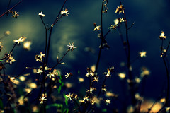 You are a star! (Sylvia Sassen) Tags: stars seeds star nature seed