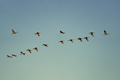 Sandhill cranes at sunrise Sherburne Wildlife Refuge, Zimmerman, Minnesota (Lorie Shaull) Tags: bird birdwatching birds sandhillcrane birdmigration sherburnenationalwildliferefuge gruscanadensis
