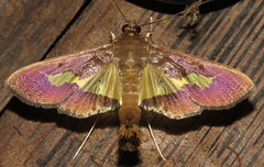 moth (Birdernaturalist) Tags: bolivia crambidae lepidoptera moth pyraustinae richhoyer