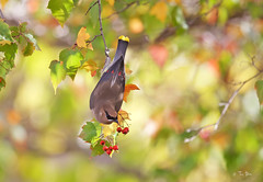 Autumn Cedar Waxwing (Thy Photography) Tags: cedarwaxwing autumn wildlife animal bird california avian nature backyard outdoor photography sunset sunrise sunshine songbird