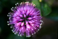 HEBE || STRUIKVERONICA (Anne-Miek Bibbe) Tags: tuin garden jardin giardino jardim natuur nature roze pink rosa rose bloei bloemen flowers flor flores bloom blumen fleur fleurs fiori fioritura hebe struikveronica