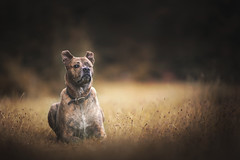 Ollie (CaPpedDoG) Tags: dog canine friend companion pit pitty pittie pitbull cross rescue forest 1dx 135mm dogphoto dogphotography