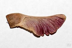 Ahorn-7202 (M.Lichtfang) Tags: abstrakt ahorn baum natur wabisabi maple makro closeup wing ef100mm28 edward weston