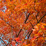 The Leaves are Finally Changing Color thumbnail