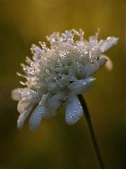 (Kaska Ppp) Tags: nature naturephotography natura flower flowers flora flowersphotography fleur floral light macro macrophotography macromonday macromondays drops