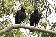Jote de cabeza negra (Coragyps atratus foetens). (Andres Bertens) Tags: 4030 olympusem10markii olympusomdem10markii olympusm75300mmf4867ii olympusmzuikodigital75300mmf4867ii rawtherapee buitre vulture jote