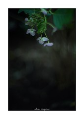 2018/10/6 - 15/15 END. photo by shin ikegami. - SONY ILCE‑7M2 / Lomography New Jupiter 3+ 1.5/50 L39/M (shin ikegami) Tags: マクロ macro 紫陽花 flower 花 井の頭公園 吉祥寺 autumn 秋 sony ilce7m2 sonyilce7m2 a7ii 50mm lomography lomoartlens newjupiter3 tokyo sonycamera photo photographer 単焦点 iso800 ndfilter light shadow 自然 nature 玉ボケ bokeh depthoffield naturephotography art photography japan earth asia