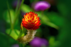 Fire in the flowers (tkclip47) Tags: flower flames red orange yellow plant fire coth5 coth alittlebeauty