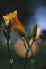 Flowers at sunset (daniel.danilovic) Tags: smctakumar5518 bokeh wideopen bokehlicious beyondbokeh dof