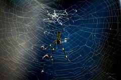 Black&YellowSpiderWeb (mehtab94) Tags: nature spider spiders summer fall wildlife natgeo scary halloween insect web cobweb colors garden