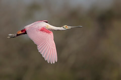 Roseate Spoonbill (Greg Lavaty Photography) Tags: brownpelican plataleaajaja texas march highisland houstonaudubon sanctuary smithoaks galvestoncounty flight pink birdphotography outdoors bird nature wildlife
