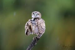 Drowned Rat (Megan Lorenz) Tags: burrowingowl owl owlet bird avian birdofprey rain raining wet preening wildlifephotography nature wildlife wild wildanimals florida mlorenz meganlorenz