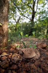 0M4A5790 (Chaitanya Shukla) Tags: asianpitvipers humpnosedpitviper hypnalehypnale reptilesandamphibiansofindia snakesofindia trimeresurus viperidae vipers