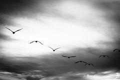 """Thursday's JBP Photo of the Day! """"Herons in the sky (Black & White)"""" (JoeBoyle) Tags: jbpphotooftheday jbp interiordesign interiordesigner commercialdesign commercialart monterey california birds bird heron heronscommercialinteriors commercialphotographer commercialphotography"""