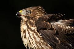 Hawk (NicoleW0000) Tags: hawk birdofprey bird fierce wildlife nature