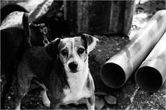 the cheerful company - Linda's dogs (andaradagio) Tags: andaradagio bianconero bw canon dog cane miglioramicodelluomo nadiadagaro lindasdogs