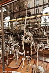 Autruche (tautaudu02) Tags: autruche ostrich musée museum histoire naturelle paléontologie anatomie paris natural history paleotonlogy anatomy