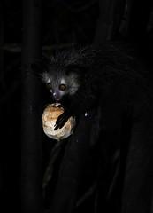 Aye aye Nocturnal Lemur