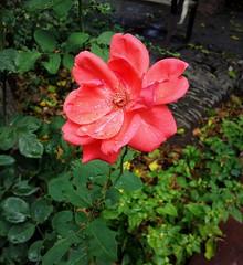 Rose flower (Anna Gelashvili) Tags: цветокроза роза rose flower цветок flowers цветочки garden roseflower ვარდი ვარდისფერივარდი ყვავილი