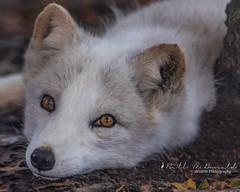Arctic Fox (Bill McDonald 2016) Tags: fox arctic parc omega billmcdonald wwwtekfxca park october 2018 canada quebec