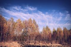 deep blue (Smo_Q) Tags: autumn poland pentaxk3ii birch