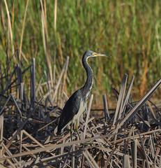 10-18-18-0038500 (Lake Worth) Tags: animal animals bird birds birdwatcher everglades southflorida feathers florida nature outdoor outdoors waterbirds wetlands wildlife wings