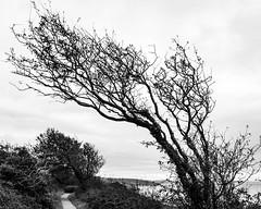 Shaped by the wind (raymorgan4) Tags: amroth saundersfoot pembrokeshire wales coastal path wind trees fujifilmx100f fujifilmglobal blackandwhite landscape seascape nature