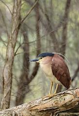 Nankeen Night Heron in the Paperbarks (Athena Georgiou) Tags: 2018 wildlifephotography birding westernaustralia birdsofaustralia australia herdsmanlake nycticoraxcaledonicus birds canon5div