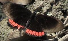 Biblis hyperia (Birdernaturalist) Tags: biblidinae biblidini bolivia butterfly lepidoptera nymphalidae richhoyer