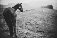 Horse with no name (mripp) Tags: art vintage retro old nikkor nikon z7 50mm f12 landscape horse horses peered animal animals landschaft regenstauf oberpfalz