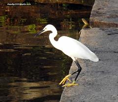 DSCN4478 Little Egret (Egretta garzetta) (vlupadya) Tags: greatnature animal aves fauna indianbirds little egret egretta kundapura karnataka