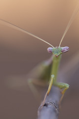 Mantis Sp. (KarsKW) Tags: animals animal nature wildlife southafrica south africa karskw brits madibeng drakensberg pilanesberg kars klein wolterink canon eos 750d bugs critter bug insect insects small tiny macro tamron 90mm f28