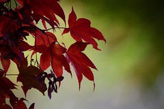 _DSC6447 Lovely maple (christinachui79) Tags: flickrnature naturephotography autumnseason autumntheme autumncolour fallseason falltheme fallcolour fall autumn maple foliage leaves nature closeup nikon d750 bokeh beautiful red colourful light dof