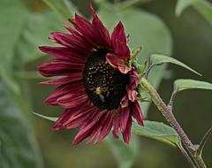 Bye Bye Summer (louise peters) Tags: sunflower zonnebloem velvetqueen red rood flower bloem macro hmm
