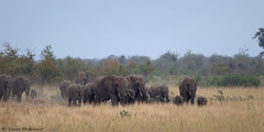 Approaching elephant herd (leendert3) Tags: leonmolenaar southafrica krugernationalpark wildlife nature mammals africanelephant naturethroughthelens ngc npc coth5