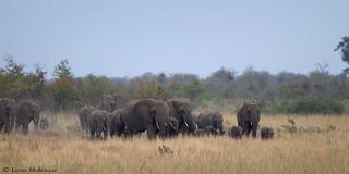 Approaching elephant herd
