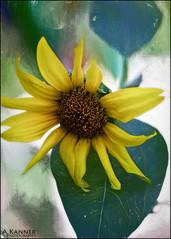 Last One Standing... (angelakanner) Tags: canon70d lensbaby twist60 processed garden longisland sunflower summer closeup