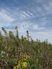 MNDNR_SNA_Blanket Flower Prairie (minnesota_snas) Tags: mndnr minnesota dnr departmentofnaturalresources scientificandnaturalarea blanket flower prairie yellow fall color 2018