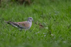 Turtle Dove (Tim Melling) Tags: streptopelia turtur turtle dove north yorkshire timmelling