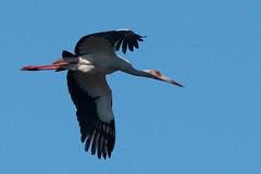 Maguari Stork (dgoldenberg52) Tags: argentina buenos aires birds south america city urban