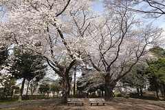 A SMALL AIRPORT, SOME PARKS AND CLOUDS - CLXXV (Jussi Salmiakkinen (JUNJI SUDA)) Tags: tokyo japan cityscape landscape 武蔵野 多摩 東京 日本 風景 sky powerline 2018 march spring maaliskuu kevät flower cherryblossoms chofu 調布 park nogawapark 野川公園