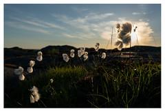 Cotton grass (leo.roos) Tags: cottongrass eriophorumangustifolium commoncottongrass commoncottonsedge veenpluis sunset zonsondergang havlogi campsite camping skärhamn tjörn bohuslän scherenkust archipelago sweden zweden sonycarlzeissvariotessarfe1635mmf4zaoss variotessar16354 sel1635z variotessartfe41635 sonycz16354 swedenspring2018 a7rii darosa leoroos