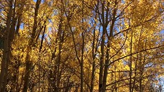 twinkling aspen on Tesuque Peak Road 05Oct18 (johngpt) Tags: trees santafe aspenvistapicnicgroundandtrail tree newmexico santafenationalforest autumn appleiphone7plus tesuquepeakroad places aspen