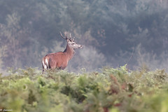 Cerf élaphe (Cervus elaphus) - Red deer (jf Pascal) Tags: france limousin nouvelleaquitaine saintpardouxlacroisille cerfélaphe cervuselaphus reddeer