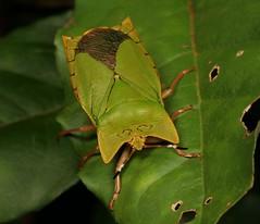 Giant Shield Bug (Asiarcha angulosa, Tessaratomidae) (John Horstman (itchydogimages, SINOBUG)) Tags: insect macro china yunnan itchydogimages sinobug entomology canon bug shield stink hemiptera tessaratomidae green fb