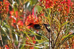 Scarlet Honeyeater in Grevillea, Alstonville, New South Wales, Australia (Red Nomad OZ) Tags: ballina alstonville scarlethoneyeater grevillea bird animal wildlife newsouthwales nsw australia outdoor nature flower wildflower